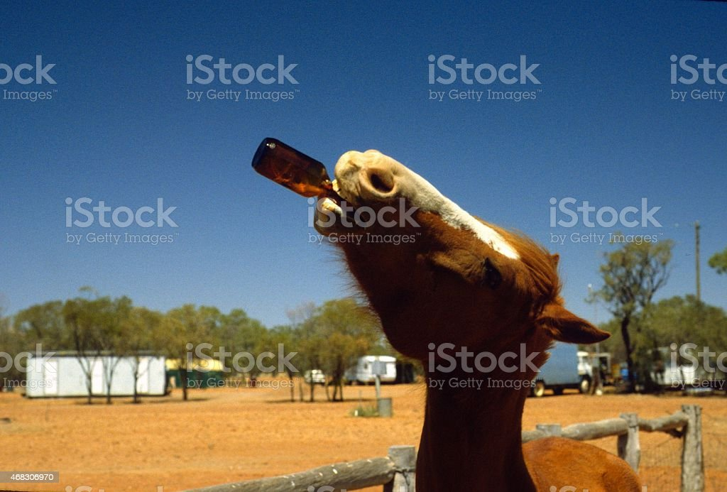 Horse drinking beer stock photo