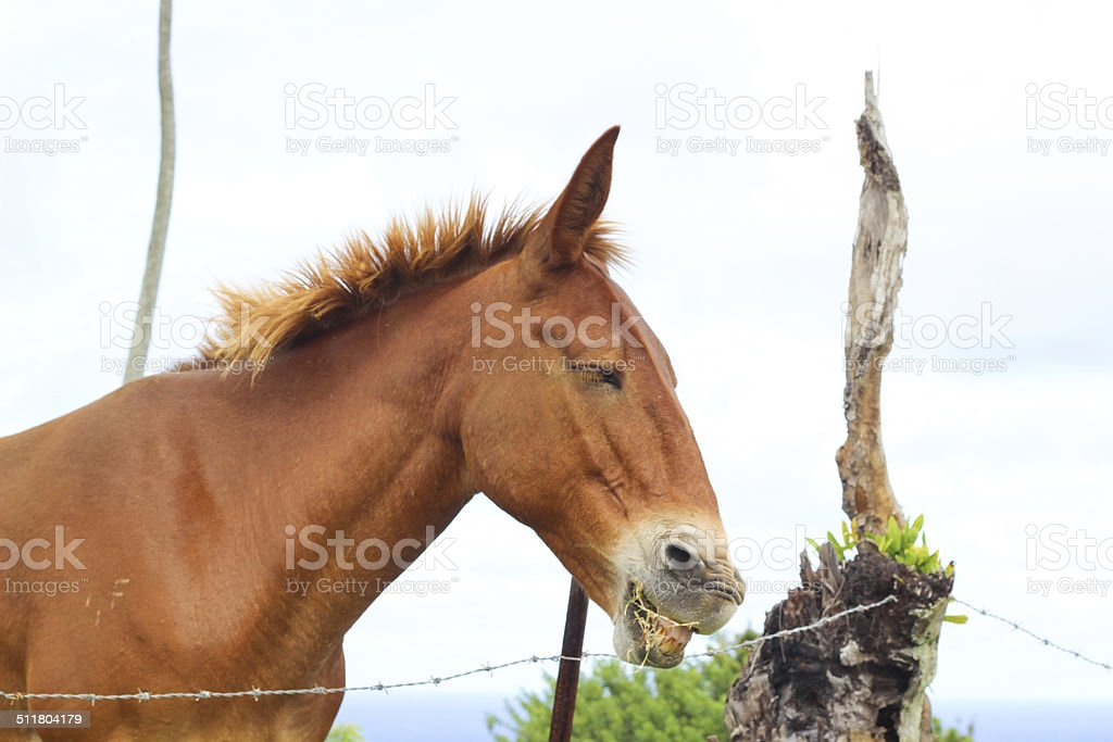 Horse Eating Grass on Hawaii stock photo