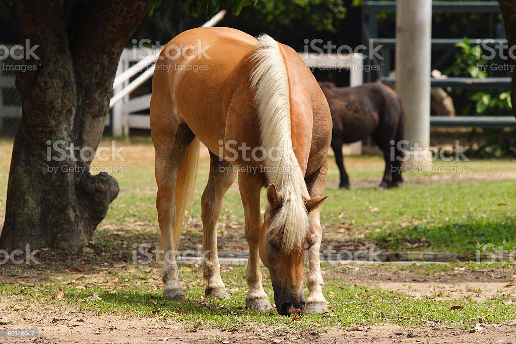 Horse Eating royalty-free stock photo