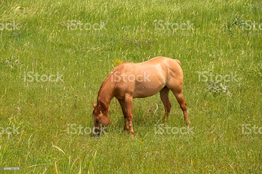 Horse eats grass in meadow stock photo