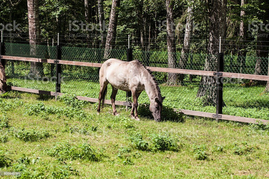 horse eats the grass, Bialowieza National Park stock photo