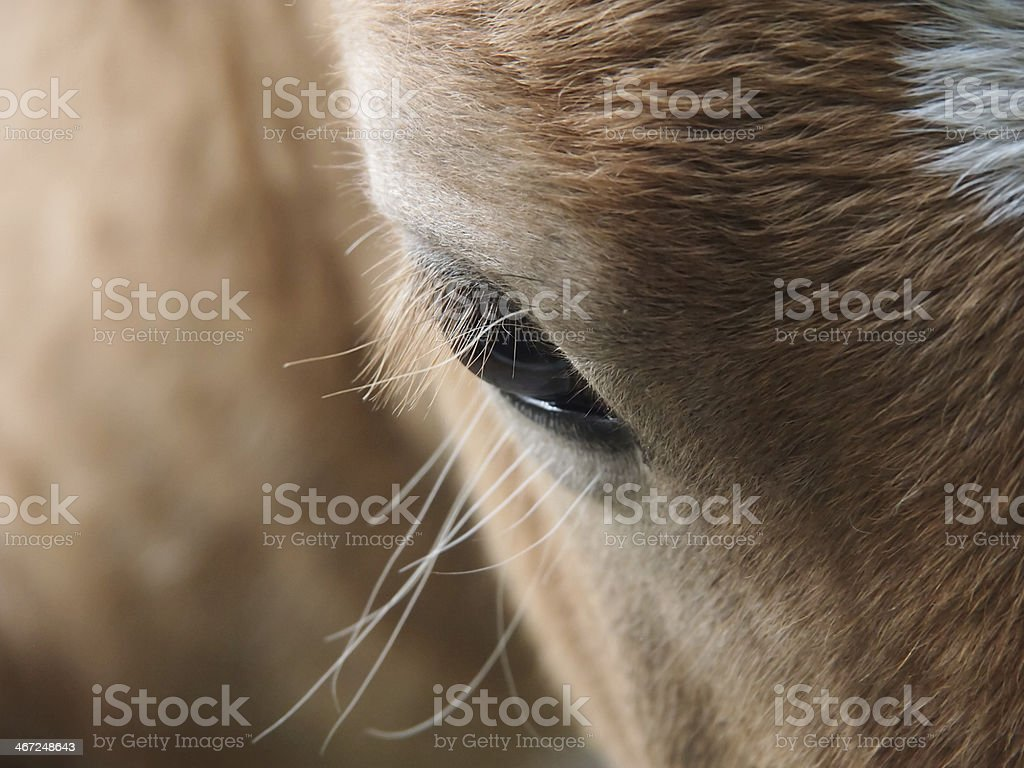 horse eye royalty-free stock photo
