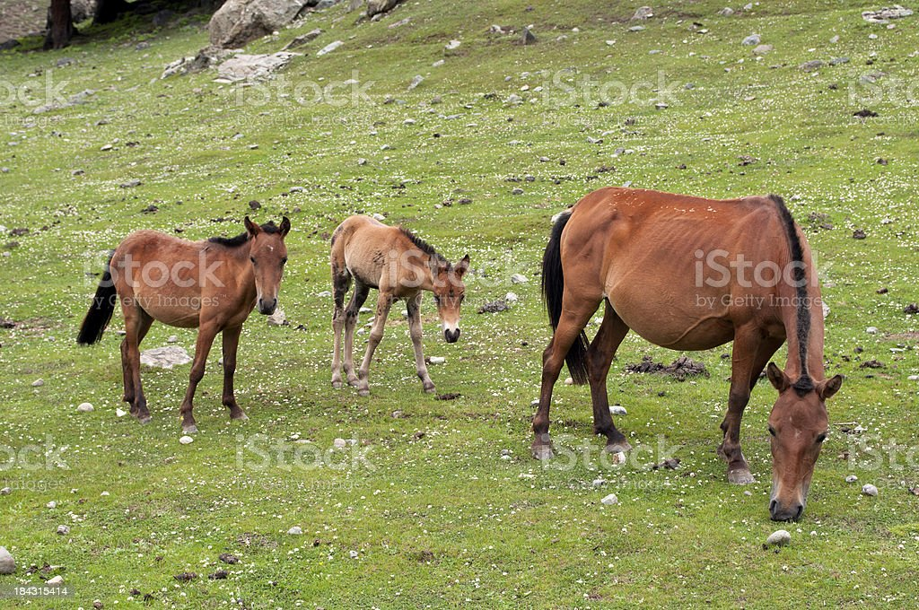 Horse Family in Kashmir royalty-free stock photo