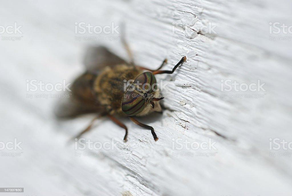 Horse fly eyes royalty-free stock photo