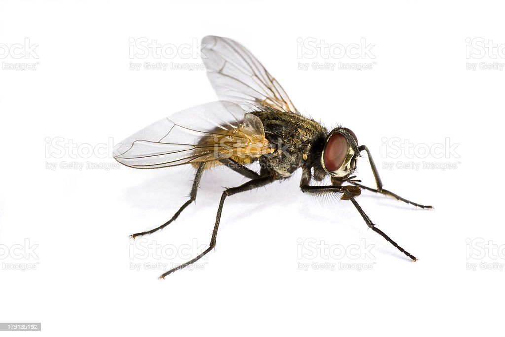 horse fly in close up royalty-free stock photo