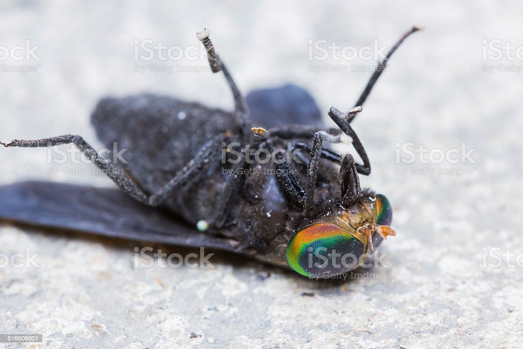 Horse Fly is dead stock photo