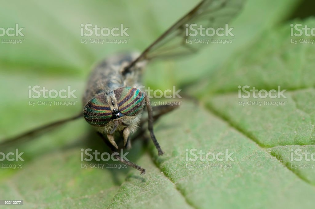 Horse fly on leaf with detailed eyes royalty-free stock photo
