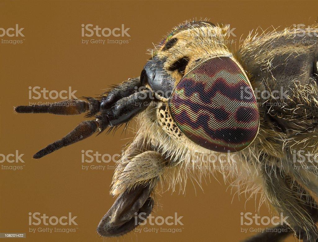 Horse Fly (Haematopota crassicornis) stock photo