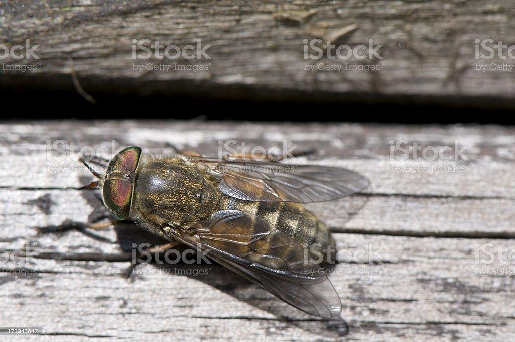 Horse fly royalty-free stock photo