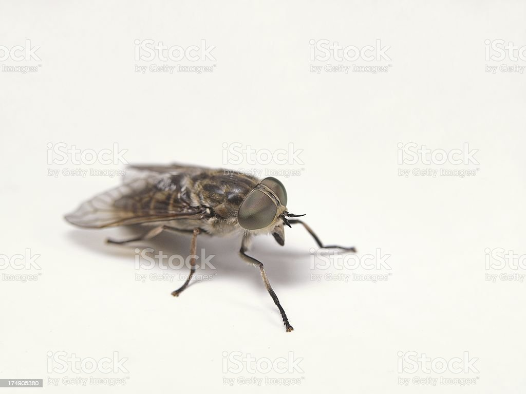 Horse Fly royalty-free stock photo