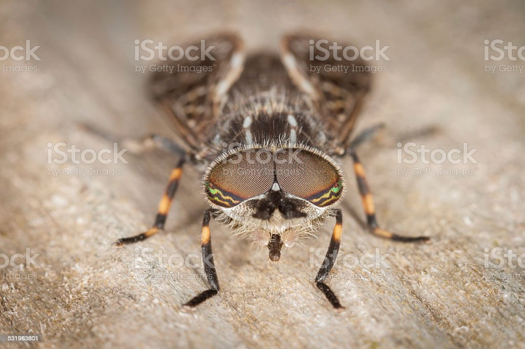 Horse Fly stock photo