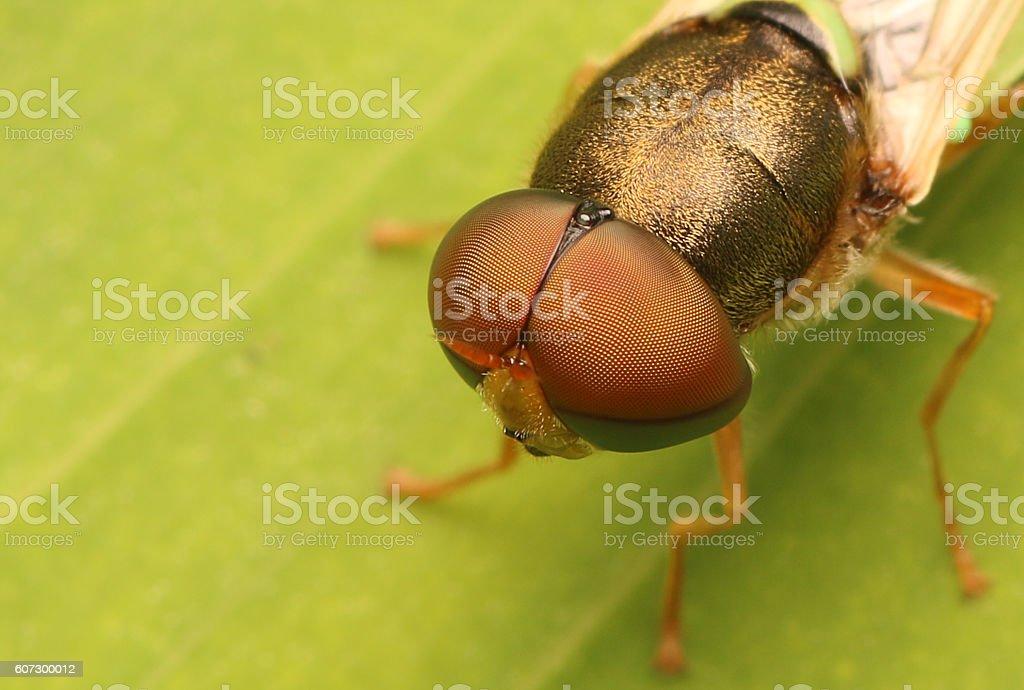 Horse Fly stock photo