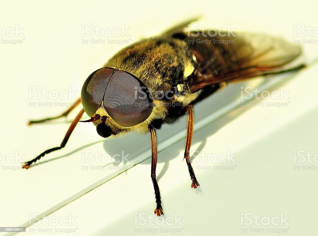 Horse Fly/Deer Fly royalty-free stock photo