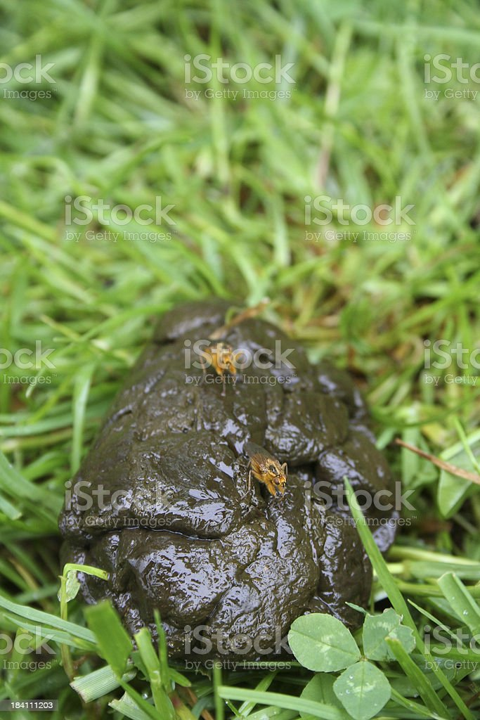 Horse flys on dung. stock photo