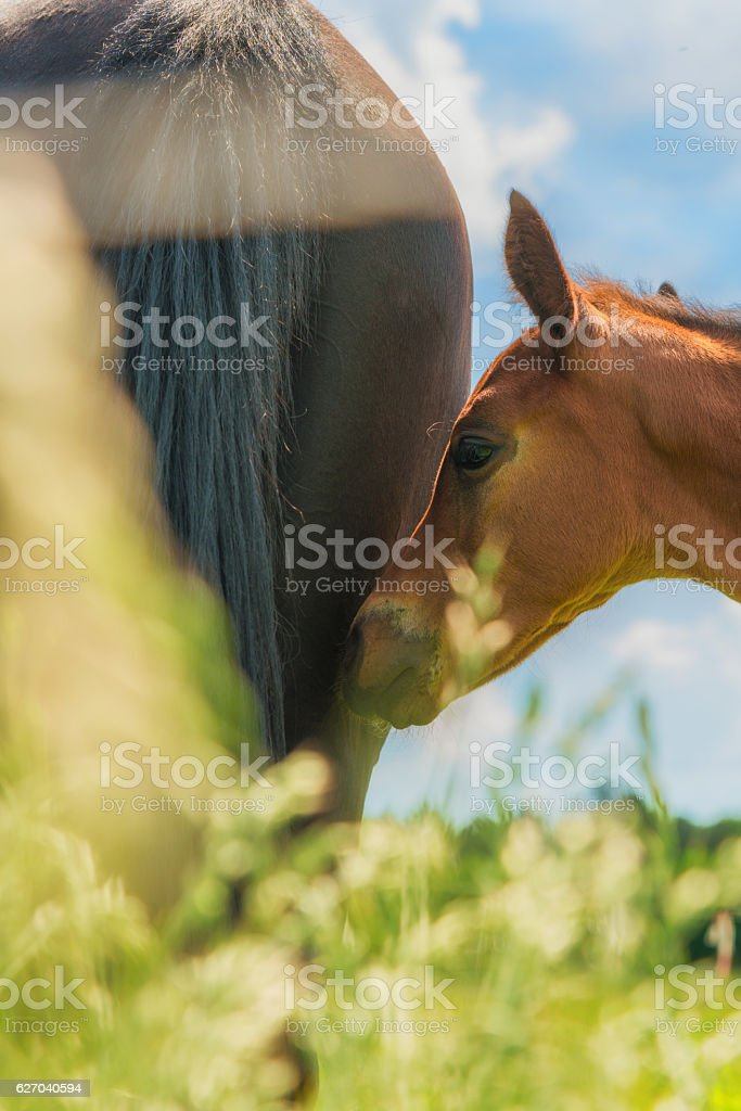 horse foal in meadow behind defocused grass stock photo