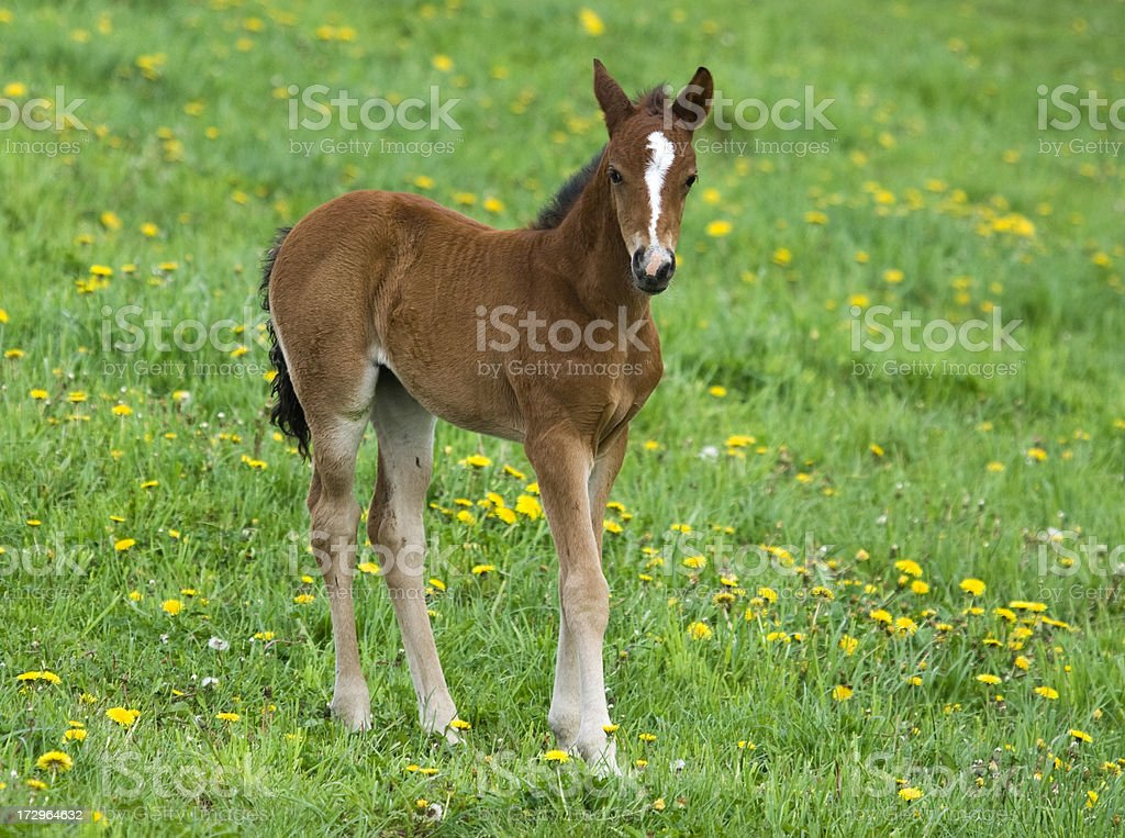 Horse foal walking stock photo