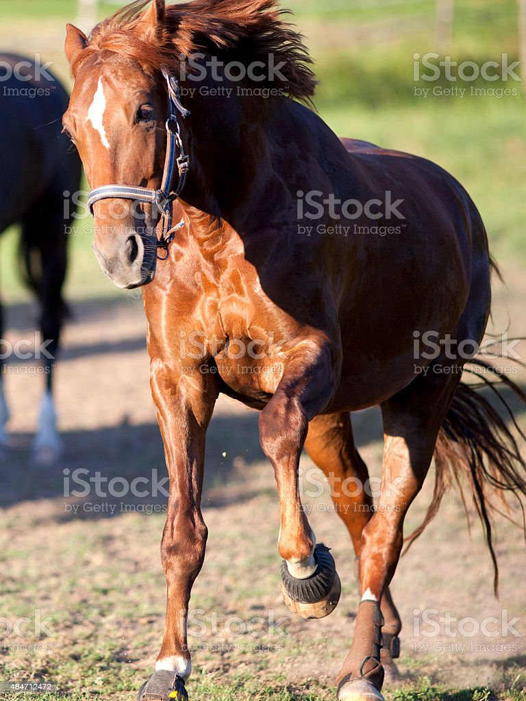 Horse gallop powerful free in paddock frontal stock photo