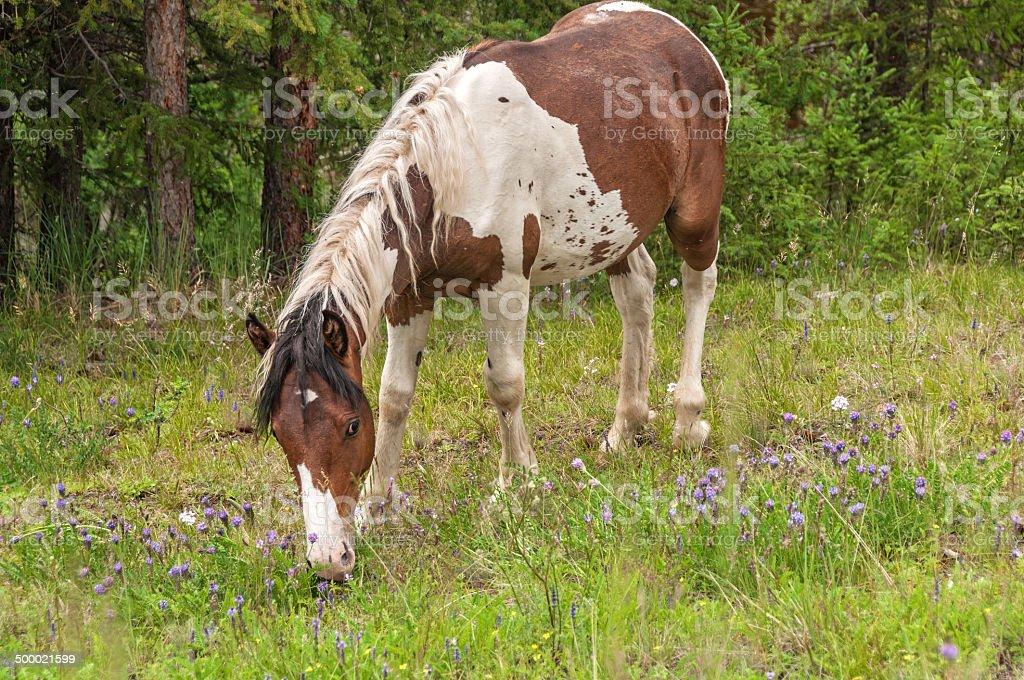 Horse grazes meadow royalty-free stock photo