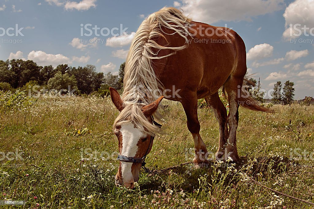 horse grazes on the field royalty-free stock photo