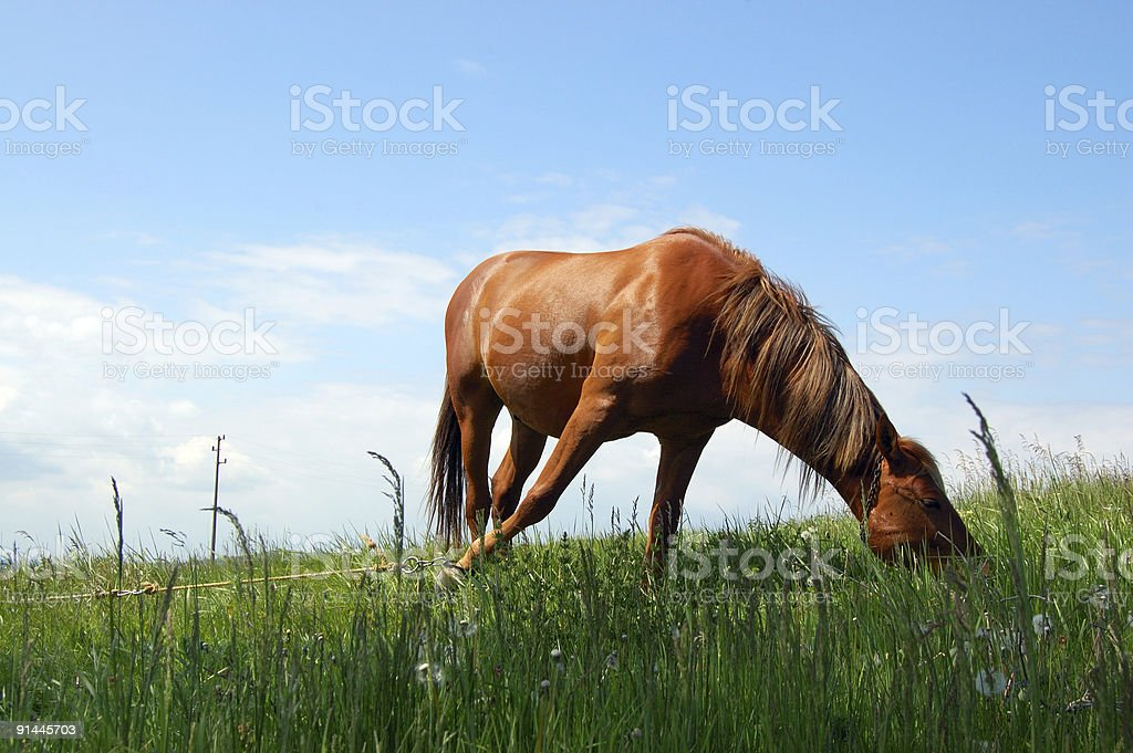 horse grazing green grass on the pasture royalty-free stock photo