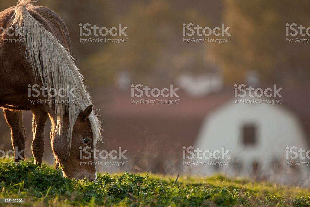 horse grazing in pasture by barn stock photo