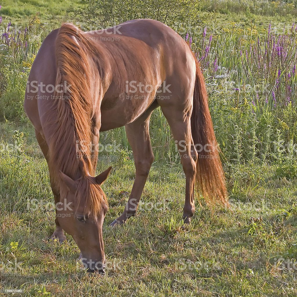 Horse Grazing in Pasture_7174-1S royalty-free stock photo