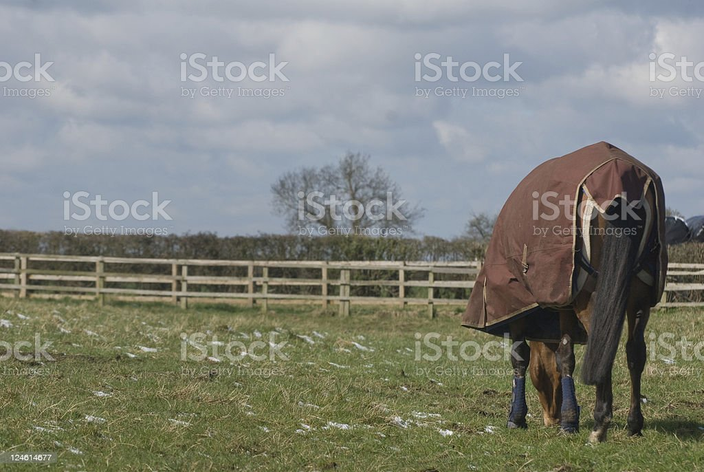 Horse grazing in winter stock photo