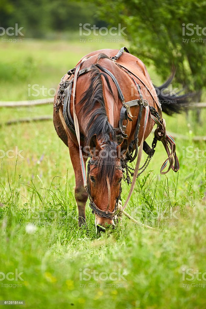 Horse grazing on a pasture stock photo