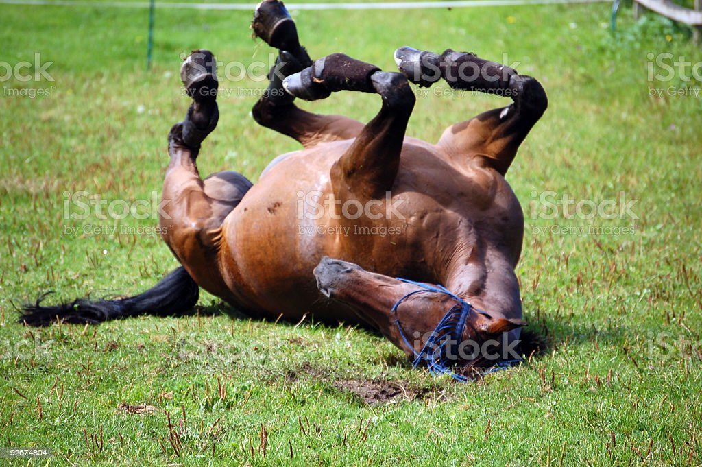 Horse having a roll royalty-free stock photo