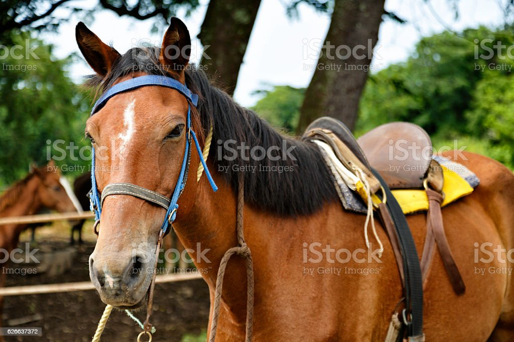 Horse head close-up with harness stock photo