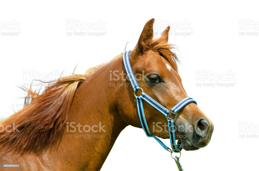 horse head on white background - arabian horse stock photo