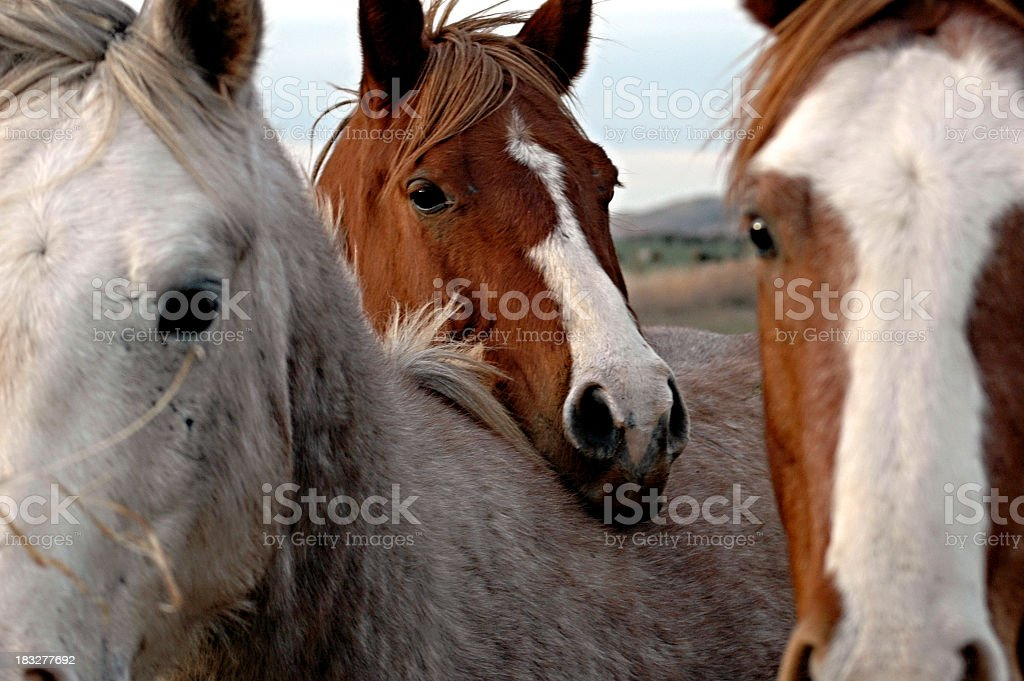 Horse head resting on back of another horse stock photo