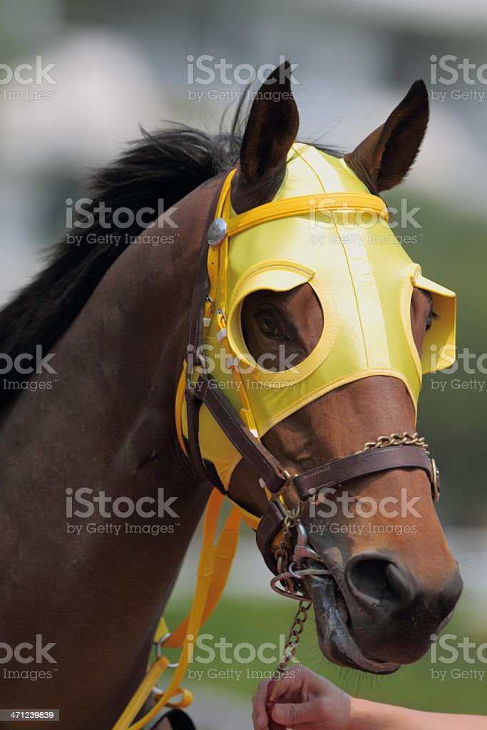 Horse head with Blinders royalty-free stock photo