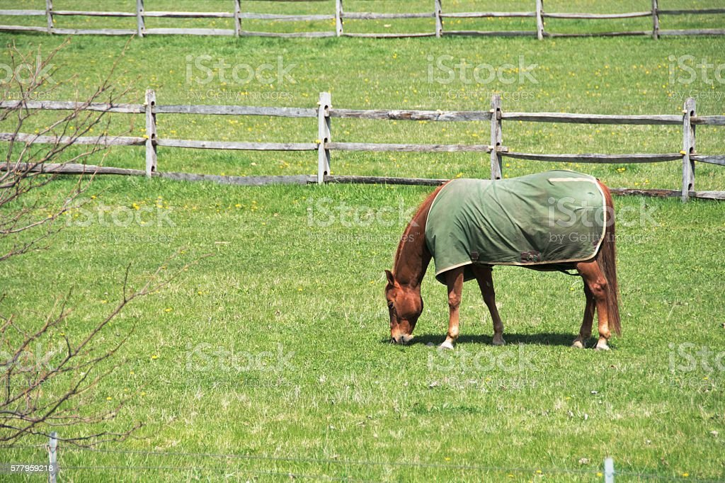 Horse in Blanket stock photo