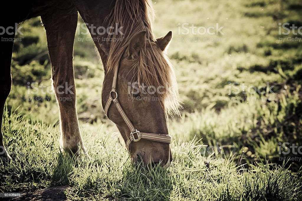Horse in field royalty-free stock photo