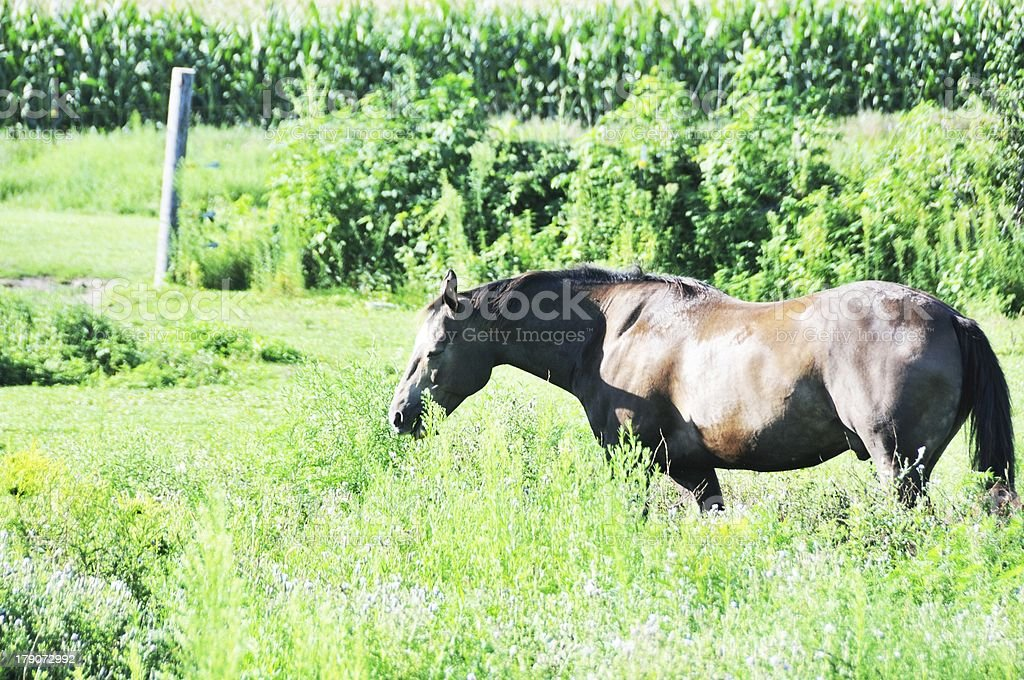 Horse in Grass royalty-free stock photo