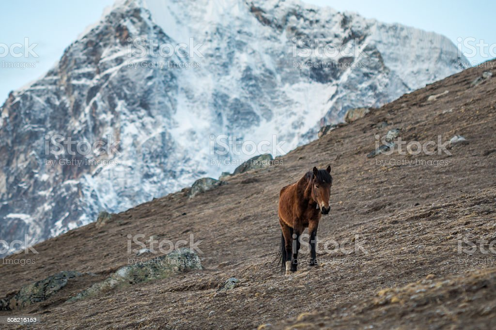 Horse in Himalayan Mountains in Nepal stock photo