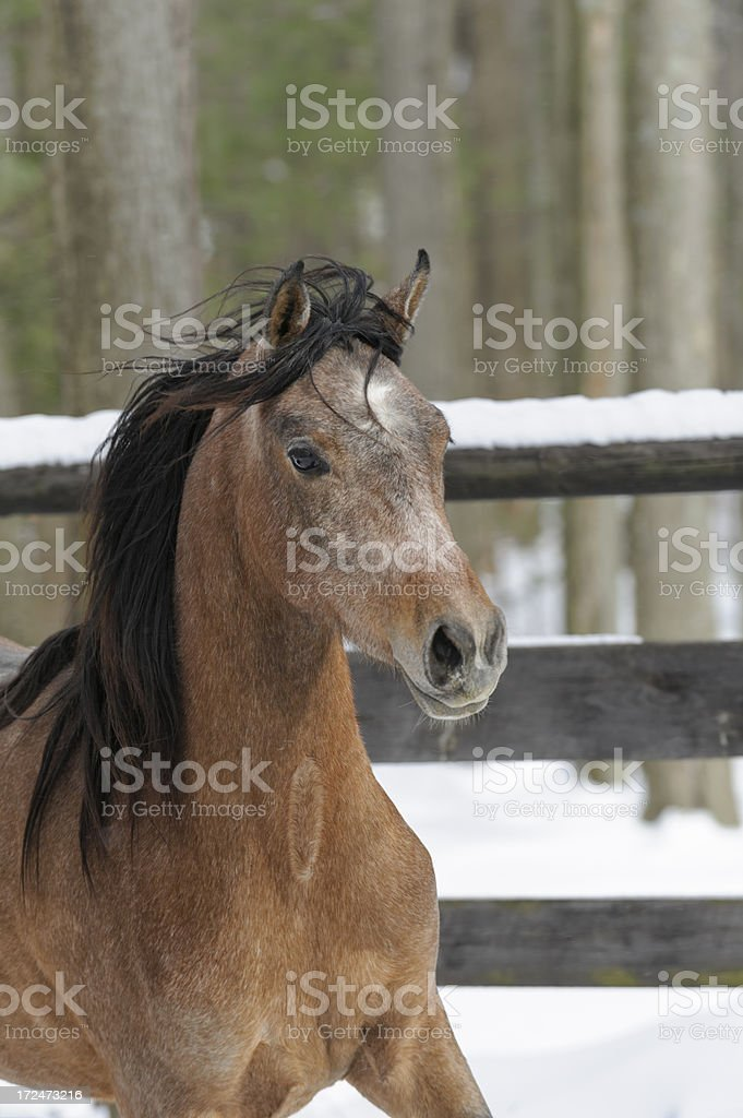 Horse in Motion Winter Woods, Close Up royalty-free stock photo