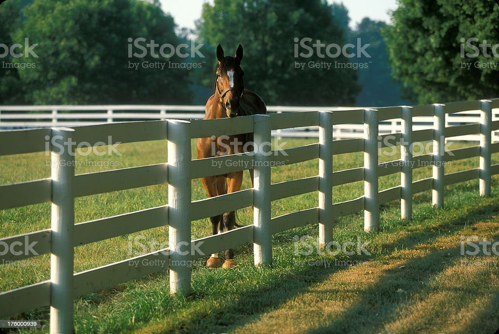 Horse in Paddock royalty-free stock photo