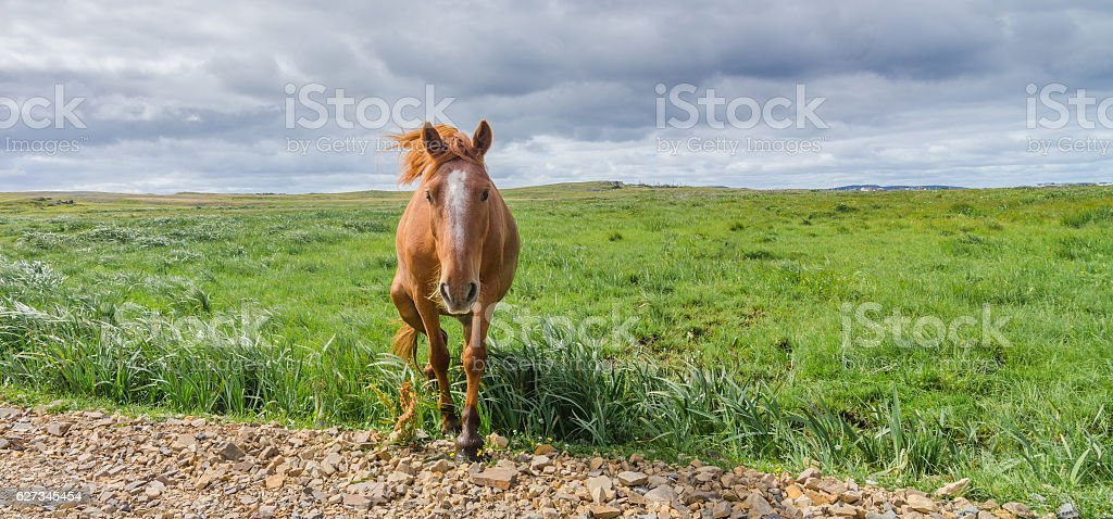 Horse in pasture meadow comes walking up to the camera. stock photo