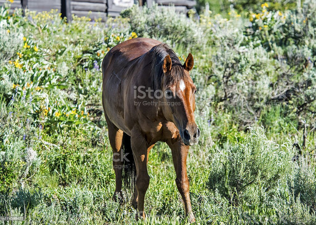 Horse in Pasture royalty-free stock photo