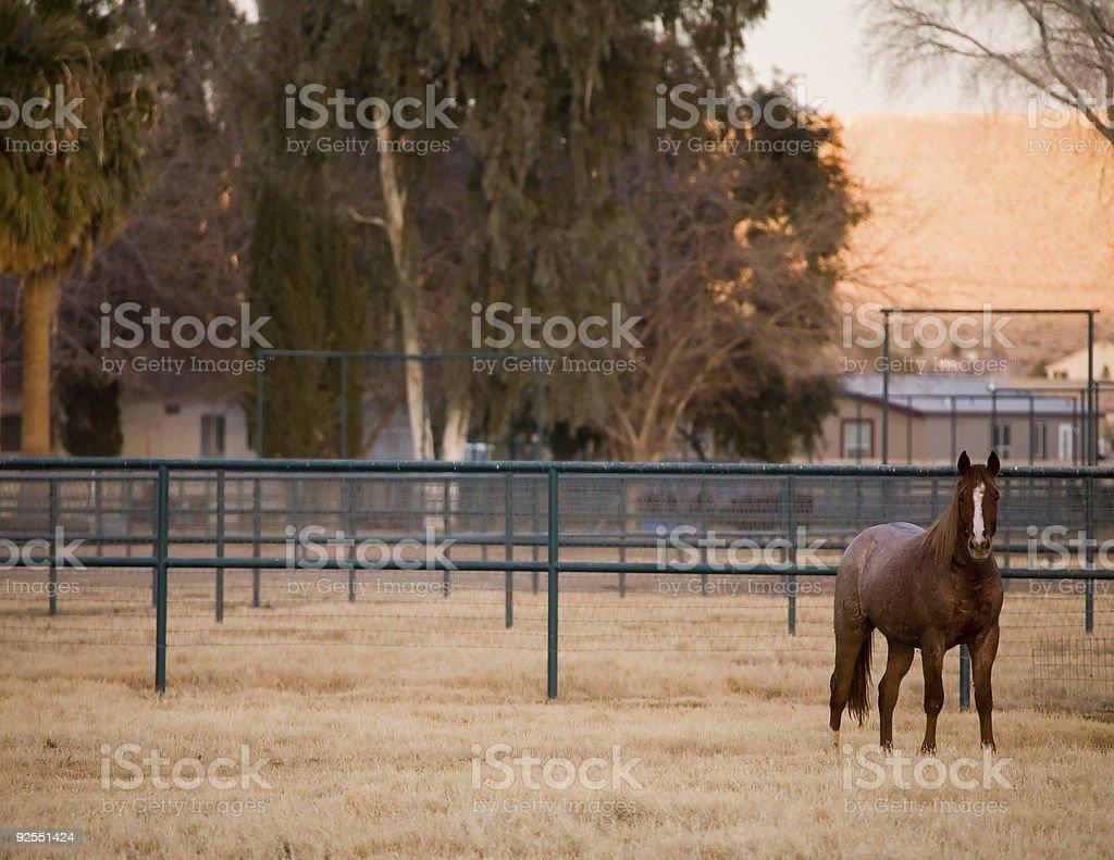 Cavalli al pascolo foto stock royalty-free