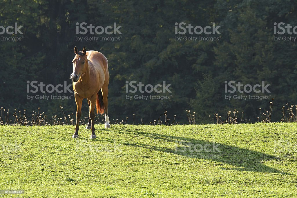 Horse In Sunset royalty-free stock photo