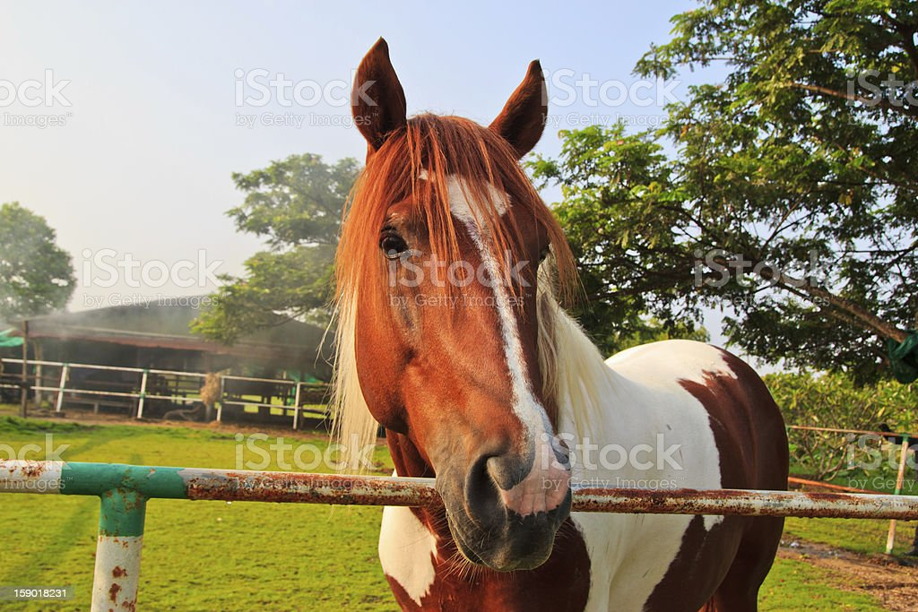 horse in the farm where Cholburi royalty-free stock photo