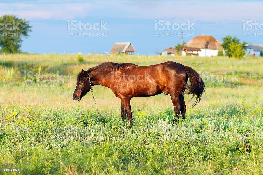 horse in the field at the evening stock photo