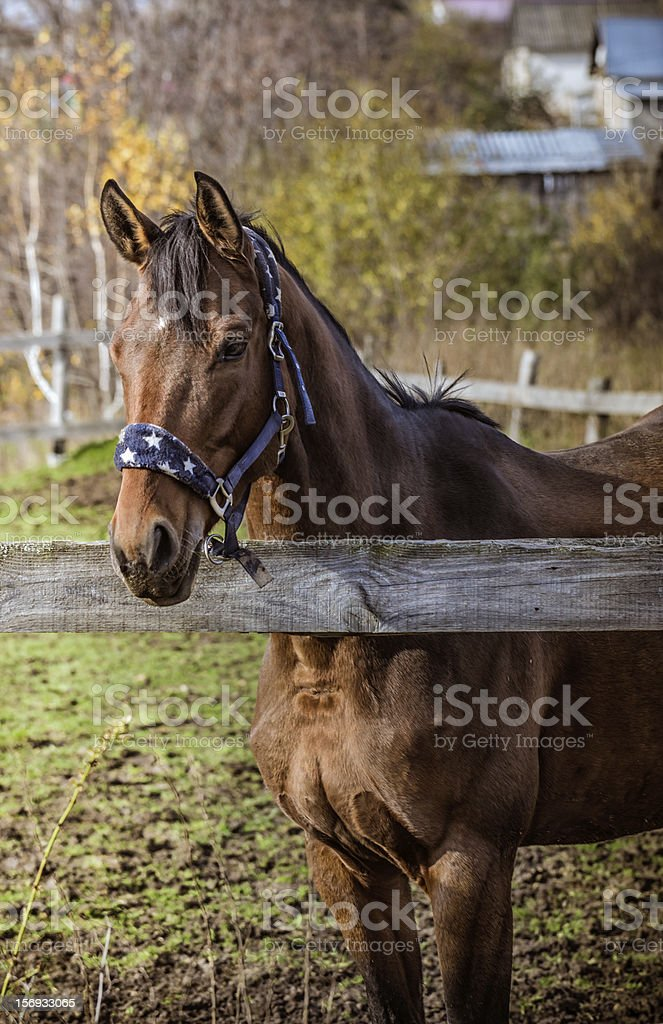 Horse in the paddock royalty-free stock photo