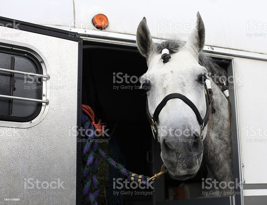 Horse in Trailer stock photo