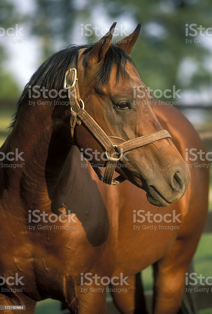 Horse in twilight royalty-free stock photo