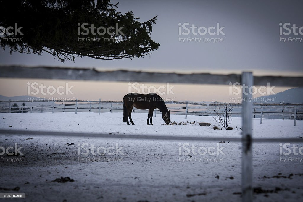 Horse in winter conditions royalty-free stock photo