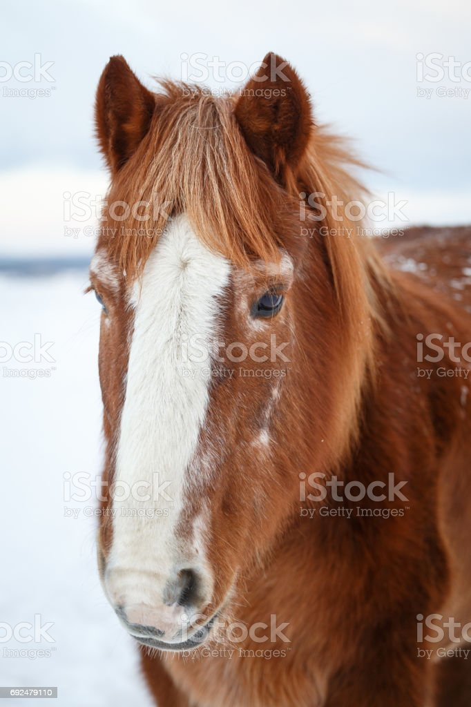 Horse in winter looking into the distance. stock photo